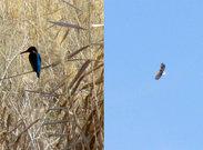 نجات عقاب زخمی از دست کلاغها