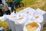 پیش بینی افزایش پرورش برنج کم زحمت تر در گیلان