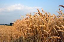 9 درصد گندم کشور در کردستان تولید می شود