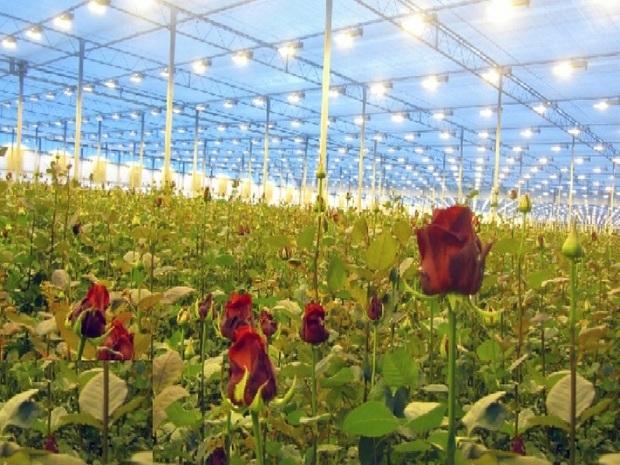 ظرفیت صادرات گل از خراسان رضوی وجود دارد