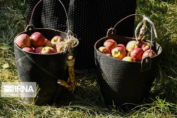 یک نیکوکار در استان مرکزی هفت تن سیب به محرومان اهدا کرد