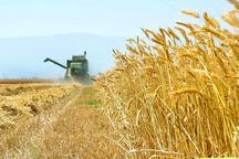 320 هزار تن گندم از کشاورزان استان مرکزی خریداری شد
