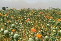 خراسان رضوی دارنده بیشترین کشتزار گیاهان دارویی است