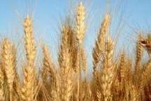 فرماندار: بهای گندم کشاورزان آبدانانی هنوز بطور کامل پرداخت نشده است