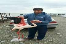 فلامینگو مصدوم تحویل محیط زیست بندرترکمن شد