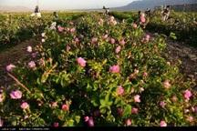 250 تن محصول گل محمدی در یزد تولید شد