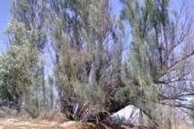 متخلفان قطع درختان گز درسواحل اطراف میاندواب دستگیر شدند