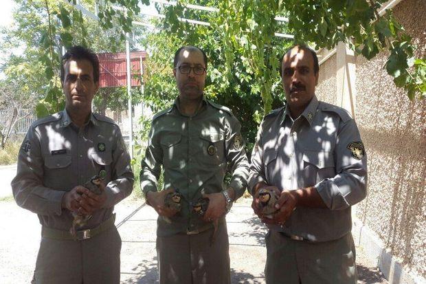 چهار قطعه کبک در بویین زهرا از چنگال یک شکارچی نجات یافتند