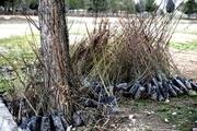 179 اصله نهال آلوده در جیرفت کشف و معدوم شد