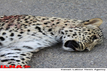 پیداشدن لاشه پلنگ در ارتفاعات حفاظت شده بیرمی بوشهر  پیگیری حادثه از سوی محیط زیست استان