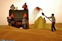 خرید گندم مازاد بر نیاز کشاورزان استان لرستان از مرز 360هزار تن گذشت
