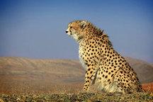 یوز ایرانی همچنان خطر انقراض را حس میکند