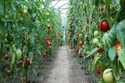 ۱۰ هزار تُن محصولات کشاورزی گواهی شده در اصفهان برداشت میشود