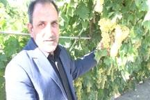 15 هزار خانوار ملکانی از انگور امرار معاش می کنند
