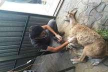 همیاران محیط زیست سقز، میش وحشی بیمار را از مرگ نجات دادند