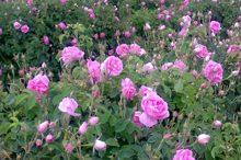 70 هزار بوته گل محمدی در گلستان کشت شد