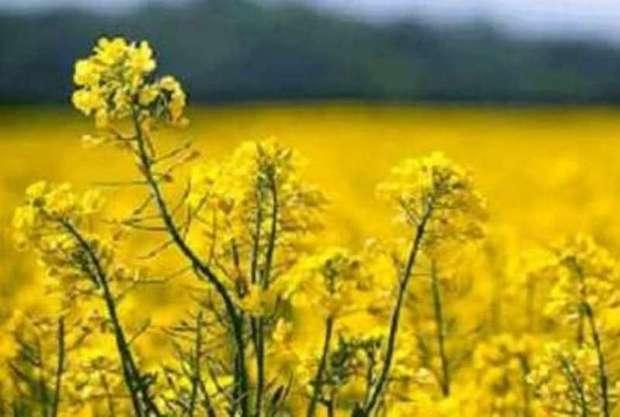 40 تن بذر کلزا برای کشاورزان خراسان شمالی تامین شد