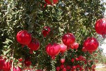 برداشت انار از باغات سیستان و بلوچستان آغاز شد