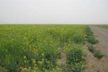 کلزا در هفت هکتار از زمین های زراعی بادرود نطنز کشت شد