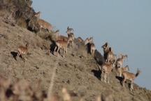 خشکسالی در کمین حیات وحش منطقه حفاظت شده شاسکوه شهرستان زیرکوه