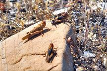 مبارزه با آفت ملخ در بیش از 1900 هکتار از اراضی کشاورزی آذربایجان غربی