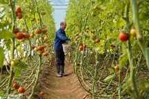 100 هکتار اراضی کشاورزی مهریز به کشت گلخانه  اختصاص دارد