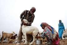 عشایرهرمزگان 12هزارتن شیر و گوشت قرمز تولید می کنند
