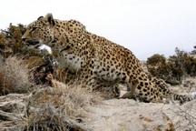 2 قلاده پلنگ به گله گوسفندان در الموت شرقی حمله کردند