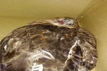 نجات عقاب توسط دوستدار محیط زیست در بافق