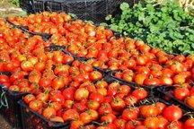 خرید توافقی گوجه فرنگی کشاورزان هرمزگان