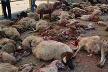 برخورد خودرو در طارم 17 راس گوسفند را تلف کرد