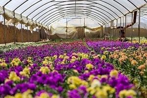 استان مرکزی رتبه نخست تولید گل در کشور   ارزآوری 15 میلیون دلاری و جایگاه دوازدهمی در جهان