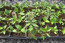 کاشت نشاء گوجه فرنگی درسطح 14هزار هکتار زمین کشاورزی هرمزگان