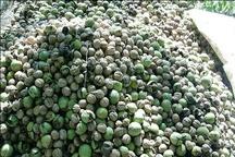 تولید سالانه ۳.۵ تن گردو در هکتار در سروآباد