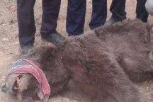 خرس قهوه ای از کلاله به پناهگاه حیات وحش سمسکنده ساری منتقل شد