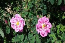 پرورش گل محمدی در گیلان رو به افزایش است