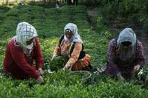 سازمان چای آماده انعقاد قرارداد خرید برگ سبزچای است