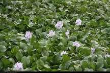 پاکسازی مناطق آلوده به گیاه سنبل آبی در تالاب انزلی