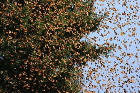 پروانههای مهاجم در تهران خطرناک نیستند