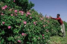 600 تن گل محمدی در چهارمحال و بختیاری تولید شد