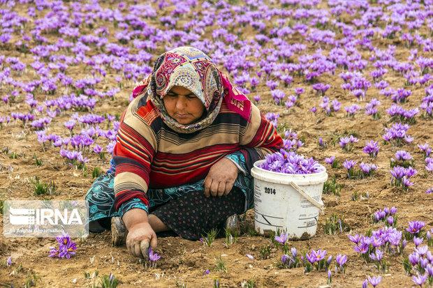 مزارع آرمانی زعفران از آرزو تا واقعیت