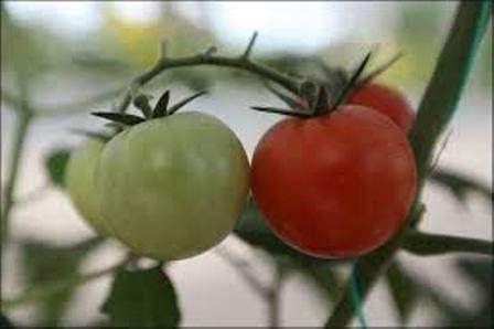 هورمون «اتفون» در گوجه فرنگی؛ مجاز یا ممنوع؟