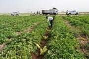 12 هزار هکتار زمین در تربت جام به کشت جالیز اختصاص یافت