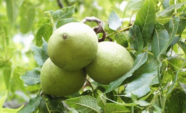مجوز احداث باغ مادری گردو در تویسرکان صادر شد