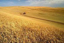 نیاز غلات و گندم دیم استان به آب تامین شده است
