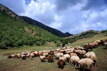 عشایر دره شهر سالانه یک هزار تن گوشت قرمز تولید می کنند