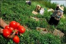 بیش از 88 هزار تن گوجه فرنگی طارم وارد بازار می شود
