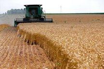 افزون بر 2هزار تن گندم در زاهدان برداشت شد