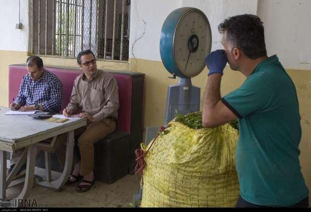 آمادگی واحدهای چایسازی برای خرید تضمینی برگ سبز چای