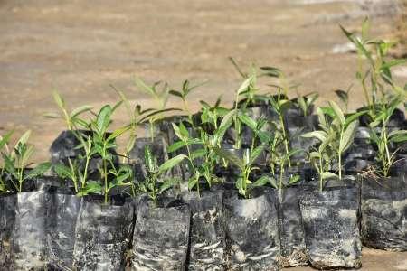 کاشت 500 اصله نهال حرا در سواحل دلوار